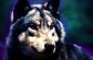 Wolfy Aura